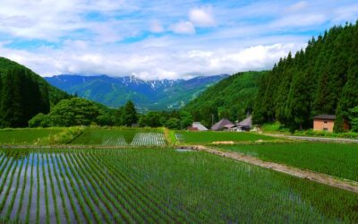 A note about Japanese Rice (the sacred grain)